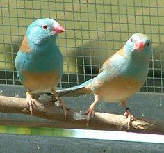 フナシセイキチョウ  Blue waxbill, Southern blue waxbill, Blue-breasted waxbill, Southern cordon-bleu, Blue-cheeked cordon-bleu, Blue-breasted cordon-bleu, Angola cordon-bleu (Uraeginthus angolensis)