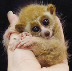 I think the Slow Loris is an intriguing animal, and this baby looks so cuddly!  Seriously why cant I have one!  LOL