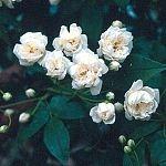 Rosa Banksia Alba Plena (Rose)