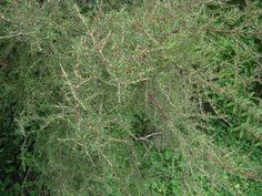 Image result for Coprosma rugosa