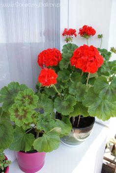 Geraniums, Flower Power, Flowers, Gardens, Home Decor, Fairy Crafts, Colors, Decoration Home, Room Decor