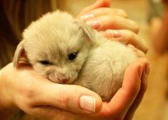 awwww-cute:  A baby fennec fox! (Source: http://ift.tt/2aPxKgl)
