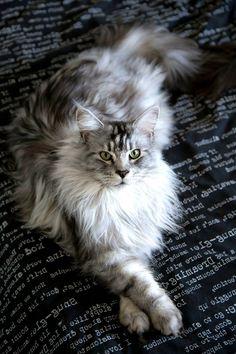 My maine coon model lluan - http://cutecatshq.com/cats/my-maine-coon-model-lluan/