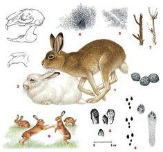 Wild Rabbit, Pet Rabbit, Animals And Pets, Baby Animals, Mystical Animals, Year Of The Rabbit, Animal Tracks, Nature Drawing, Bunny Art