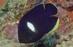 Keyhole Angelfish (Centropyge tibicen) 18 cm - much bigger than others