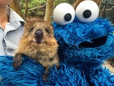 Is this the best Quokka Selfie yet? Cookie Monster meets a quokka and proclaims they're the happiest animal Penguin Animals, Happy Animals, Funny Animals, Cute Animals, Funny Dogs, Fraggle Rock, Quokka, Australian Animals, Cookie Monster