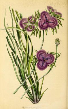 v.7 (1840) - Paxton's magazine of botany, - Biodiversity Heritage Library