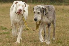 Madison guiding Lily, the blind Great Dane. True Friends.