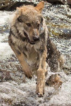 Gray wolf(Canis lupus) running in water. Saved by wolfalphawolf. Wolf Spirit, My Spirit Animal, My Animal, Beautiful Creatures, Animals Beautiful, Cute Animals, Wolf Hybrid, Czechoslovakian Wolfdog, Wolf Love
