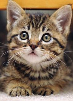 this kitty is beautiful <3