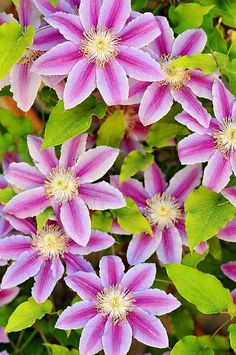 Get answers about Clematis plants
