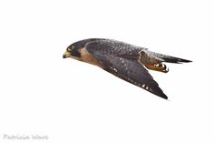 Peregrine Falcon - Fastest Member of the Animal Kingdom | Flickr ...