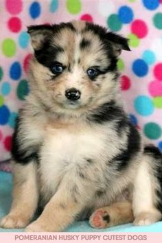 Visit the post for more. Pomeranian Husky Puppies, Husky Puppy, Cutest Dogs, Dogs Of The World, Dog Pictures, Cute Puppies, Corgi, Cute Animals, Corgis