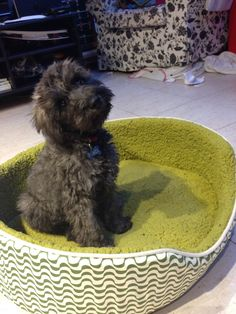 Peace  Schnoodle | Pawshake South perth