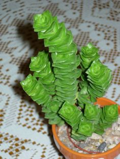 Crassula cv green pagoda