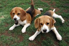 Beagles..yes please!