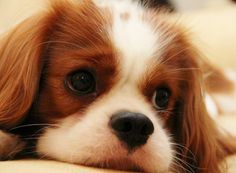 Does it get any sweeter? Cavalier King Charles Spaniel