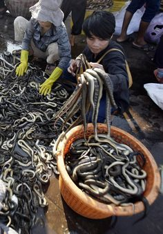 Cambodian vendors sort out snakes before taking to a market at Tonle Sap lake's bank in Kampong Chhnang province, about 80 kilometers (50 miles) northwest of Phnom Penh, Cambodia,