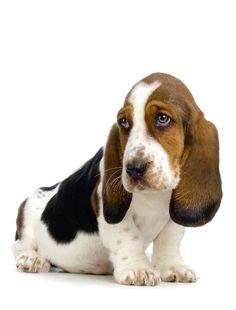 Awwwwww! Basset Hound puppy
