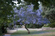Proper pruning is vital for the healthy development of all trees, but it is especially important for jacarandas because of their rapid growth rate. This article tells you how to encourage strong, healthy growth through good pruning techniques. Pruning Shrubs, Tree Pruning, Backyard Trees, Outdoor Seating Areas, Trees And Shrubs, Outdoor Plants, Watercolor Landscape, Growing Plants, Garden Inspiration