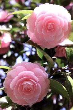 """camellia """"Otome"""" - Google Search"""