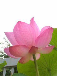 Lotus 2011.  大賀蓮。