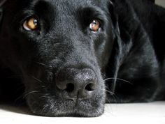 """""""Black Dog Syndrome"""" bad luck for rescue shelters Black Labs, Black Labrador, Black Dog Syndrome, Family Dogs, Beautiful Dogs, Dog Art, Puppy Love, Dogs And Puppies, Labradors"""