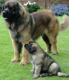 Huge Dogs, Giant Dogs, Giant Dog Breeds, Perro Leonberger, Leonburger Dog, Cute Puppies, Dogs And Puppies, Doggies, Animals And Pets