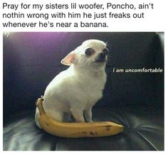 Chihuahuas > People