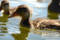 Goslings, photographed by Bristow Photography. www.bristow.co.za