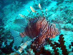 Lionfish Maldives