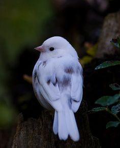 Leucistic Dark-eyed Junco / birds