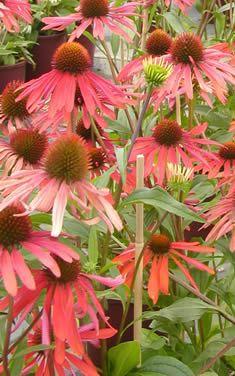 Best Shade Perennials | Ten Favorite Shade Perennials