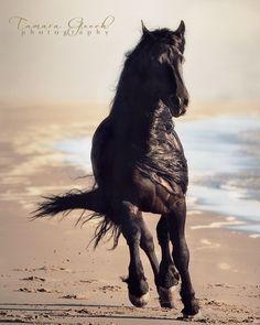 Friesian-Stallion-on-the-Beach-Photo-ABS_7113