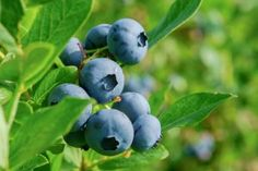 Janet Garman - Timber Creek Farm shares how to plant, grow, harvest, preserve, and care for your blueberry plants so that they will reward you with delicious berries all year through! Promoted by HarvestRight. Blueberry Bush Care, Blueberry Plant, Blueberry Bushes, Garden Soil, Fruit Garden, Vegetable Garden, Gardening Zones, Gardening Tips, Horticulture