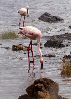 Bogoria Lake, Kenya Tanzania, Kenya, East African Rift, East African Community, Uganda, Ocean, Animals, Animales, Animaux