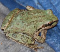 Pacific chorus frog in my backyard