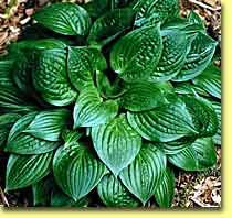 Hosta Quilting Bee Small Hosta W Distinctive Deep Green