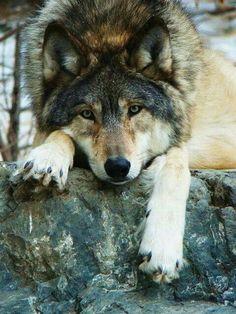 Wolf auf Stein