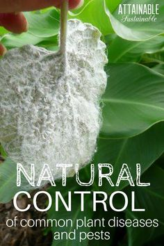 Follow these vegetable garden guidelines to get rid of common plant diseases and pests like spider mites, control whiteflies on plants, cure chlorosis, and deal with damping off.