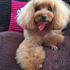 ハッピー、トリミングでふっわふわになりました💚  #toypoodle #poodle #pet #dog #lovedogs #instagood #instadog #photo #todayswanko #cutedog #love #トイプードル #といぷー #トリミング #愛犬 #ふわもこ部 #癒しわんこ #犬 #ペット #わんこ #いぬら部
