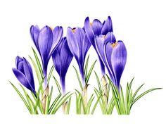 Purple Crocuses - X Note Card Watercolor Projects, Watercolor Paintings, Apple Logo Design, Watercolor Flowers Tutorial, Flower Drawing Tutorials, Disney Phone Wallpaper, Painting Patterns, Art Images, Flower Art