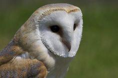 Barn Owl Nature Photos, Owl, Barn, Creatures, Photography, Animals, Image, Converted Barn, Photograph