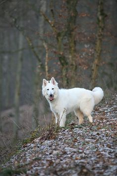 Weißer Schweizer Schäferhund//Berger Blanc Suisse