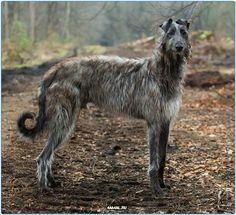 #deerhaund #animals #dogs #bigdog #dog #animal #lovedog #scotland #big #животные #россия #дирхаунд #Москва #спб #серпухов #собаки #собака #большой #новое #добро