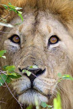 Male Lion: Serengeti