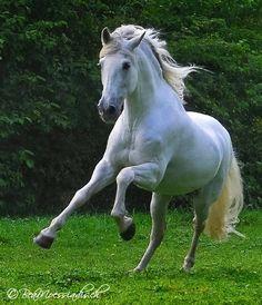 Beauty in motion. White horse running. Cute Horses, Pretty Horses, Horse Love, Beautiful Arabian Horses, Majestic Horse, Horse Photos, Horse Pictures, Andalusian Horse, Friesian Horse