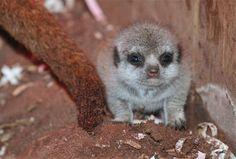 Three Tiny Meerkat Pups Get a Foster Mom