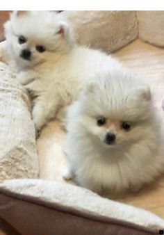 Pomeranian Breeders Pomeranian Puppies For Sale Cutepuppyforsale