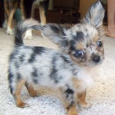 Merle chihuahua I so want one of these